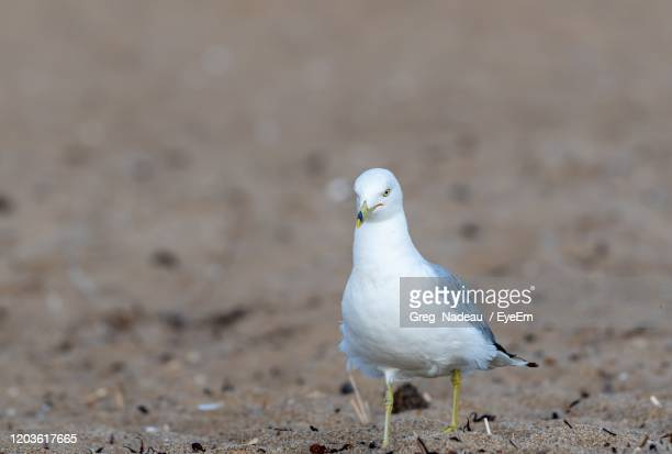 seagull perching on a land - greg nadeau stock pictures, royalty-free photos & images