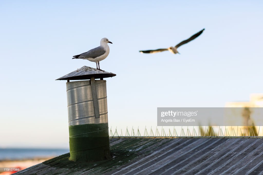 Seagull Perching On Chimney Against Clear Sky : Photo
