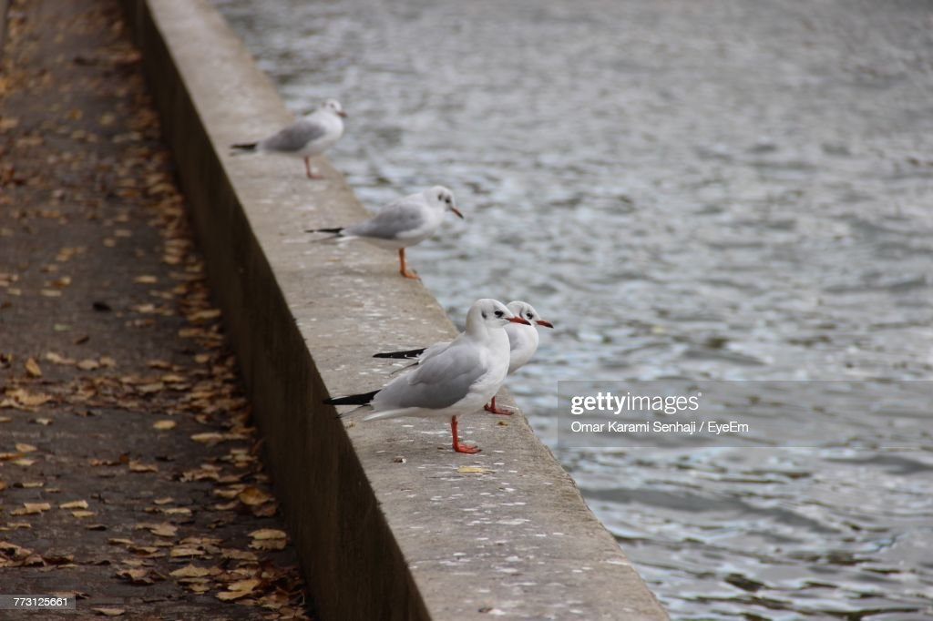 Seagull Perching On Retaining Wall : Photo