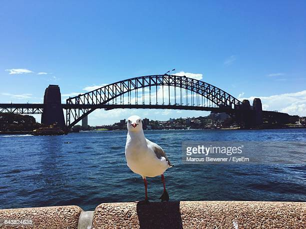 Seagull Perching On Retaining Wall With Sydney Harbor Bridge In Background