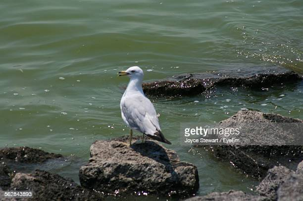 Seagull Perching On Rock At Sea