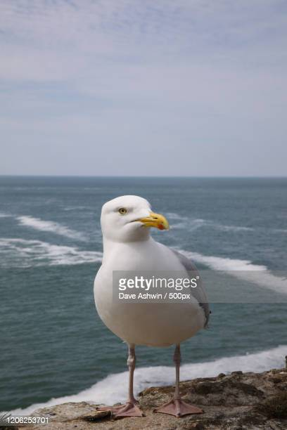 seagull perching on rock by sea, polzeath, uk - dave ashwin stock pictures, royalty-free photos & images