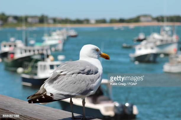 seagull perching on wooded pier at chatham england - チャタム ストックフォトと画像