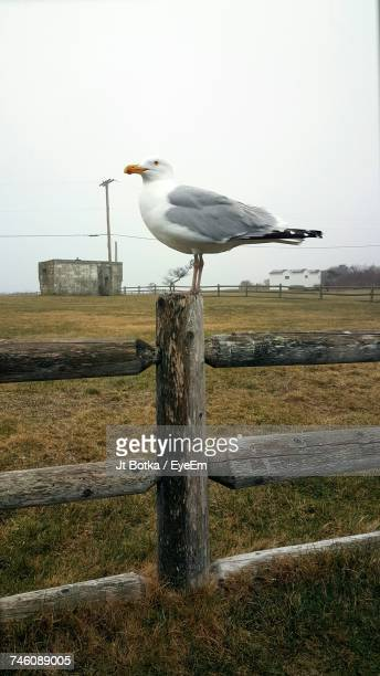 Seagull Perching On Wooden Fence Against Clear Sky