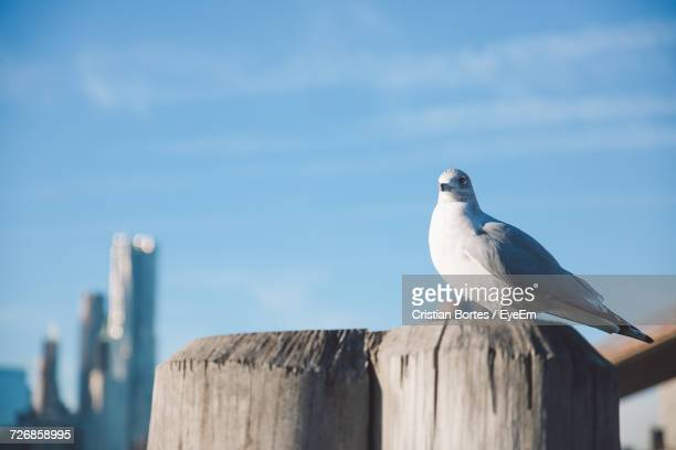 seagull perching on wooden post against blue sky during sunny day - bortes stockfoto's en -beelden