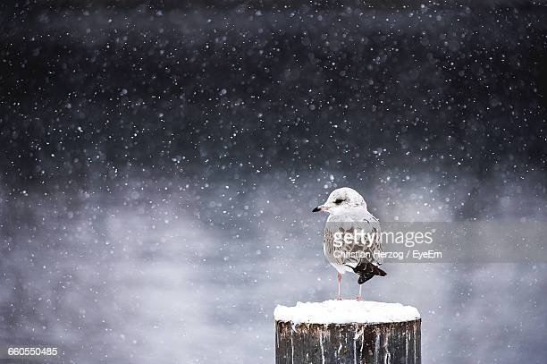 Seagull Perching On Wooden Post During Snowfall