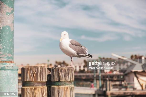 seagull perching on wooden post - redondo beach california stock pictures, royalty-free photos & images