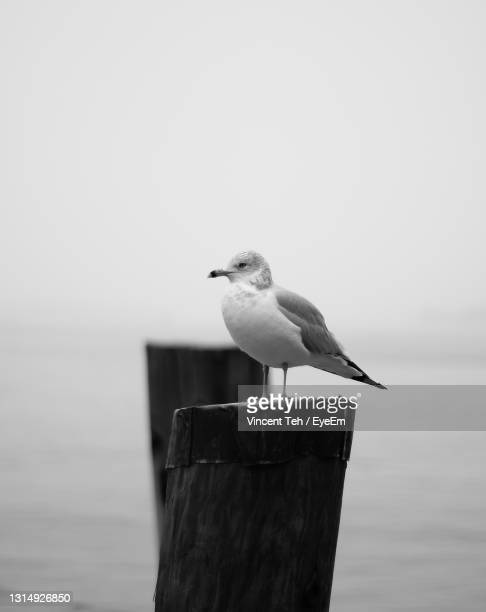 seagull perching on wooden post - new york harbour stock pictures, royalty-free photos & images