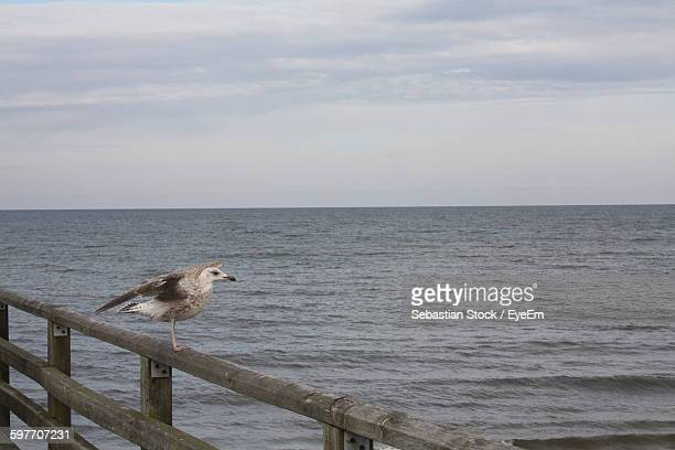 seagull perching on wooden railing at seaside - fischland darss zingst photos et images de collection