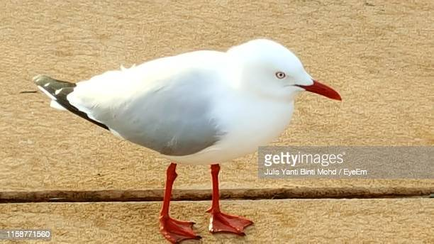 seagull perching - julis stock pictures, royalty-free photos & images