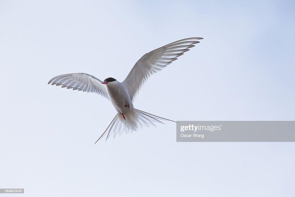 seagull : Stock-Foto