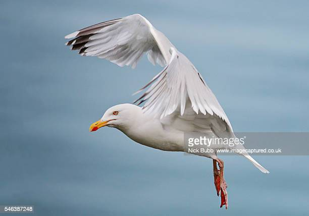 seagull - seagull stock pictures, royalty-free photos & images