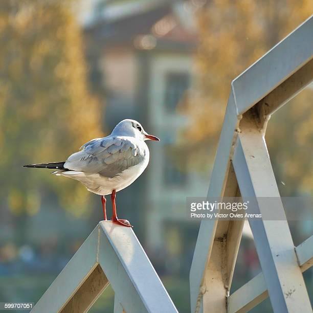 seagull - victor ovies fotografías e imágenes de stock
