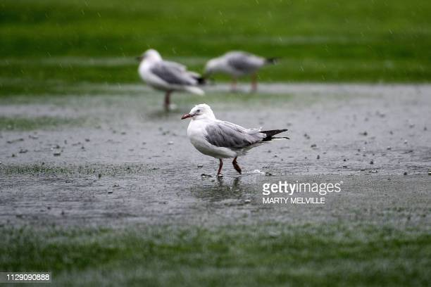 Seagull play in the puddles as rain causes a delay in the start of the test match during day one of the 2nd Test cricket match between New Zealand...