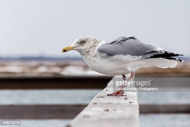 seagull poised to take off - wantagh stock pictures, royalty-free photos & images