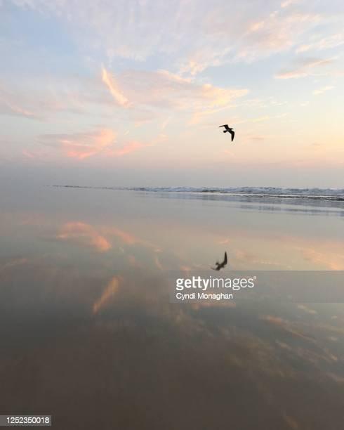 seagull reflection on pink sunrise beach - 海洋性の鳥 ストックフォトと画像