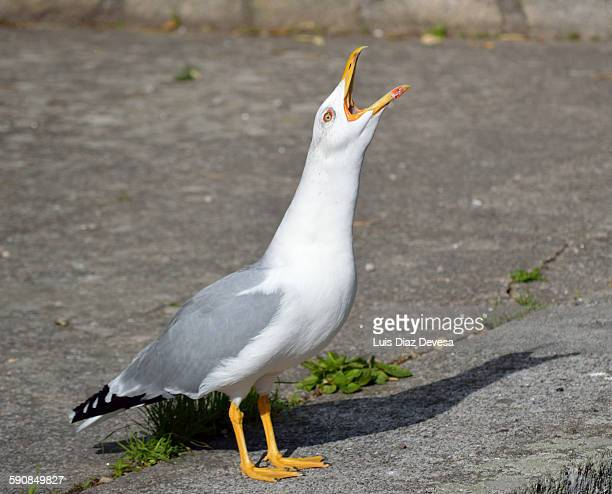 seagull screeching - call of the wild stock pictures, royalty-free photos & images