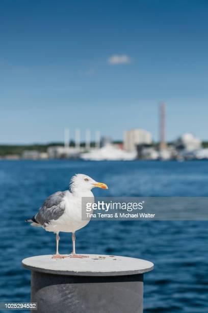 seagull sits on a wall at the port of kiel - schleswig holstein stock-fotos und bilder