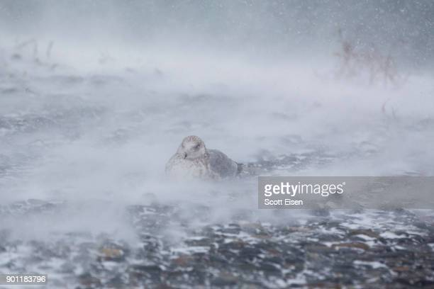 A seagull sits on rocks while being covered with blowing snow as a massive winter storm begins to bear down on the region on January 4 2018 in Hull...