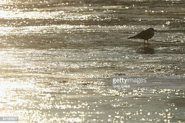 A seagull sits on the ice of the frozen Spree canal on January 6 2009 in Berlin Germany Temperatures in Berlin reached 19 degrees Celsius as a...