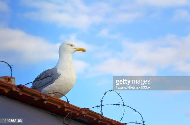 a seagull sits on the roof behind barbed wire against a blue sky - nikitina stock pictures, royalty-free photos & images