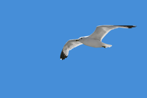 Seagull Soaring Freely in the Blue Sky 144346418