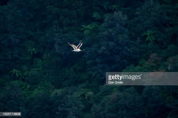 Seagull Soars in Doubtful Sound