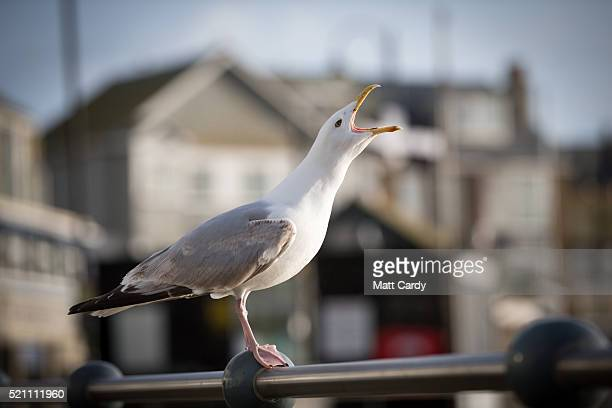 A seagull squawks in the popular seaside resort of St Ives on April 14 2016 in Cornwall England Due to the pressures that second and holiday homes...