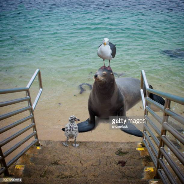 seagull standing on a seal's head on the beach, la jolla, california, america, usa - la jolla stock pictures, royalty-free photos & images