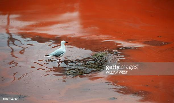 A seagull stands a red algae bloom discolouring the water at Sydney's Clovelly Beach on November 27 which closed some beaches for swimming including...