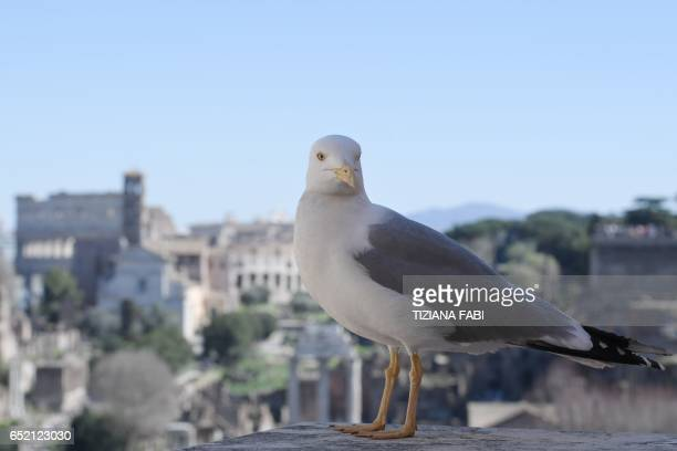 A seagull stands on a terrace overlooking the Roman Forum on March 11 2017 in Rome / AFP PHOTO / Tiziana FABI