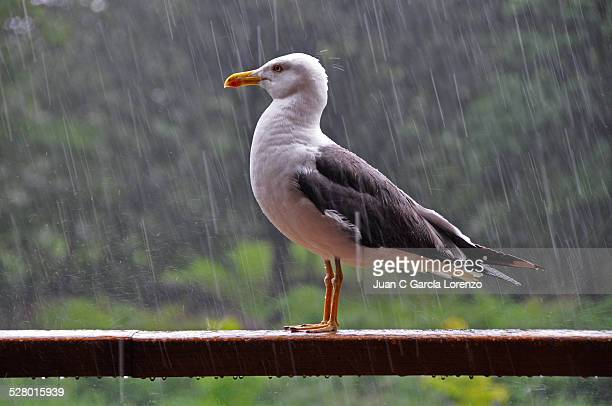 Seagull stands tall in a rainstorm