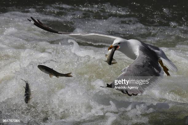 A seagull steals a fish over the water at the Lake Van in Van Turkey on May 31 2018 The pearl mullets which live in sweet water salty water in Lake...