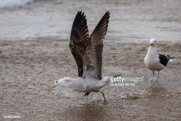 A seagull struggles to take flight covered by a plastic bag on the seashore at Caleta Portales beach in Valparaiso Chile on July 17 2018 The...