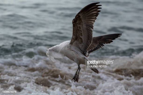 TOPSHOT A seagull struggles to take flight covered by a plastic bag on the seashore at Caleta Portales beach in Valparaiso Chile on July 17 2018 The...