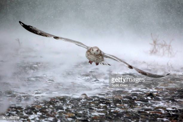 A seagull takes flight in high winds and blowing snow as a massive winter storm begins to bear down on the region on January 4 2018 in Hull...