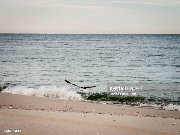 seagull taking flight over water's edge - panyik-dale stock photos and pictures