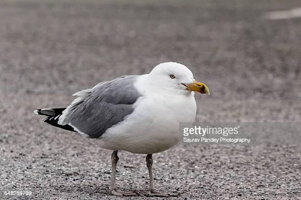 seagull to pop out of the frame - wantagh stock pictures, royalty-free photos & images
