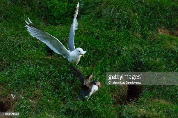 Seagull trying to steal fish from Atlantic Puffin