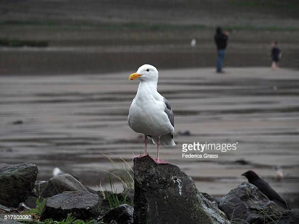 seagull under the rain and father photographing son - sunset bay state park stock pictures, royalty-free photos & images