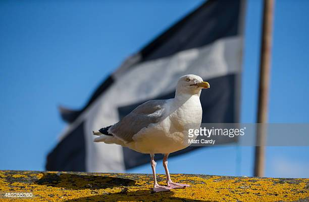 A seagull watches a building flying the Cornish flag at St Ives on July 29 2015 in Cornwall England Recent attacks by herring gulls on people and...