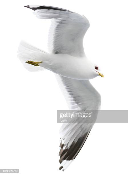 seagull with clipping path on white background - zeevogel stockfoto's en -beelden