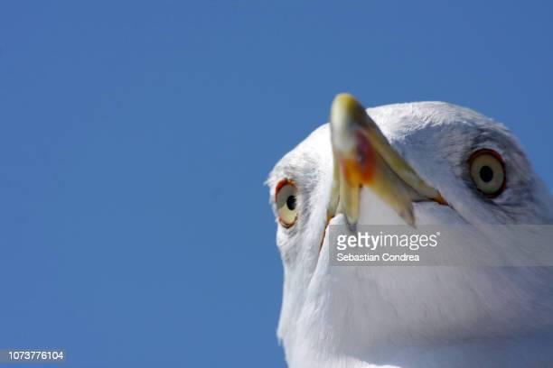 seagull with powerful beak, obvious,bird, thasos, greece - sebastian grey stock pictures, royalty-free photos & images