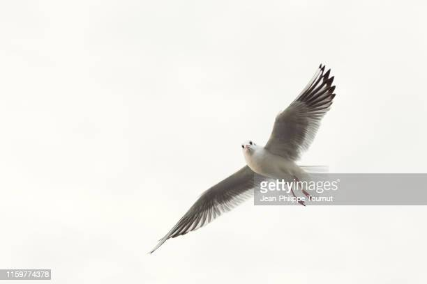 seagull with spread wings, istanbul, turkey - zeevogel stockfoto's en -beelden