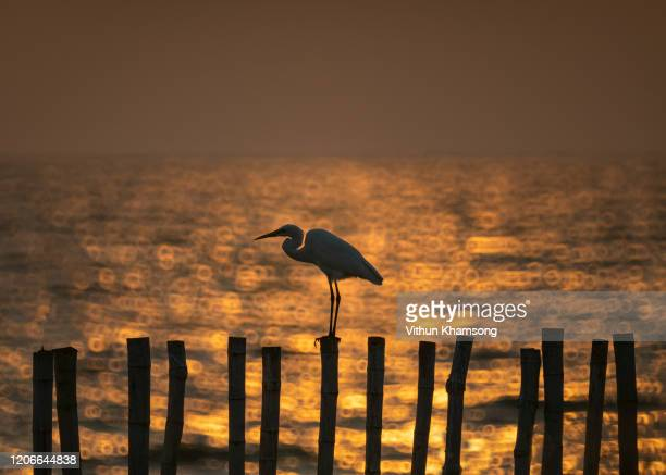 seagull with sunset in the background - 水鳥 ストックフォトと画像