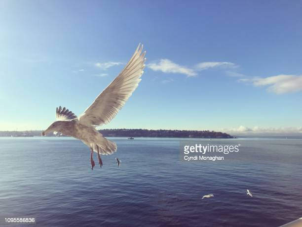 seagull with wings spread and a view of west seattle skyline in the distance - puget sound stock pictures, royalty-free photos & images