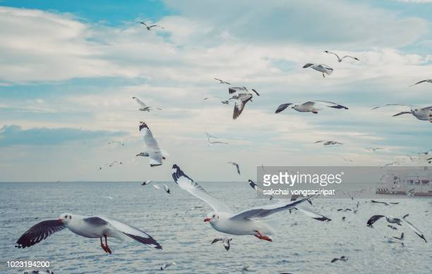 seagulla flying above sea during sunset, thailand - albatross stock pictures, royalty-free photos & images