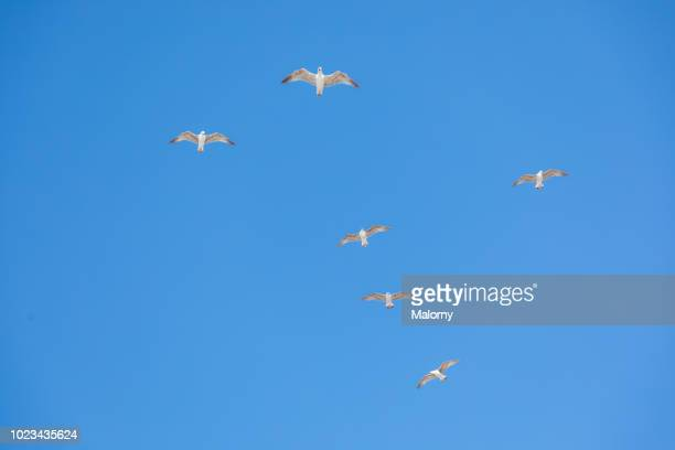Seagulls against clear blue sky. Morocco.