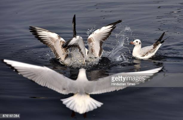 Seagulls along the Yamuna River on a clean weather morning on November 18 2017 in New Delhi India The air was at its cleanest in a month and people...