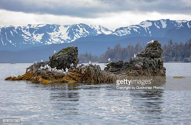 Seagulls and black footed Kittiwake's on a rocky island in Alaska